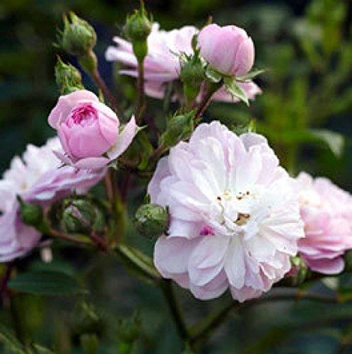 Rosarot Pflanzenversand ML201