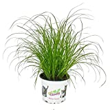 Katzengras - Cyperus alternifolius - 3 Pflanzen - zur Verdauungsunterstützung von Katzen