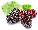 Nuovo arrivo! 10PCS mulb borse Mulberry Erry semi di frutta fai da te a casa bonsai Morus Nigra Albero, nero semi di gelso piante, # PQWIC5