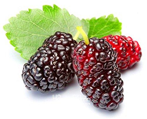 Nuovo arrivo! 10PCS mulb borse Mulberry Erry semi di frutta fai da te a casa bonsai Morus Nigra Albero, nero semi di gelso piante, #