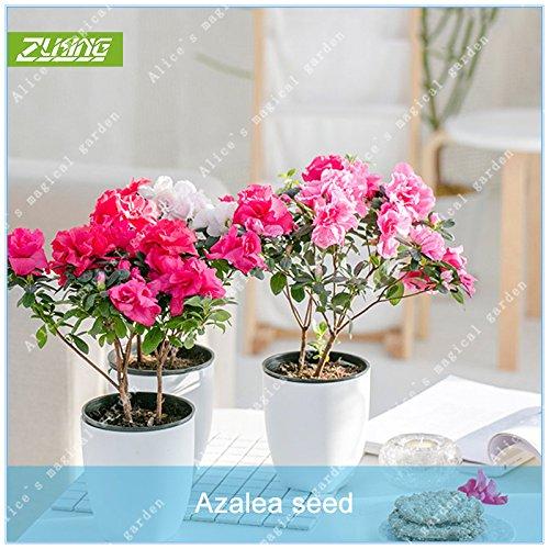 Baum Azalee, (ZLKING 20 PC-Rosa chinesische Azaleen-Blumen Bonsai Samen Exotische Bäume Hohe Keimungrate Blume für Büro Bonsai Pflanze)
