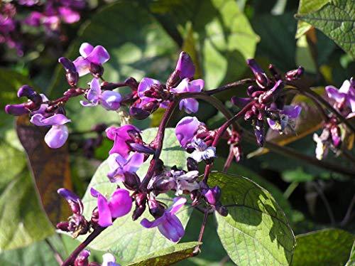 PLAT FIRM Hyazinthe, Lila Hyazinthen Bohne Rebe, 10 Samen (Lila Bohne Samen)