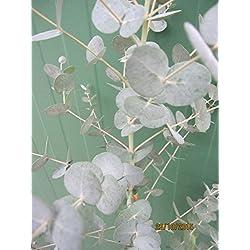 Eucalyptus gunnii Azura - Eukalyptus Azura