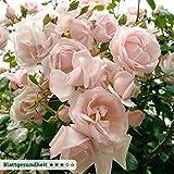 Kletterrose 'New Dawn®' - zart rosafarben blühende, duftende Topfrose im 6 L Topf - frisch aus der Gärtnerei - Pflanzen-Kölle Gartenrose