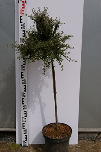 cotoneaster-integrifolia-silver-shadow-zwergmispel-silver-shadow