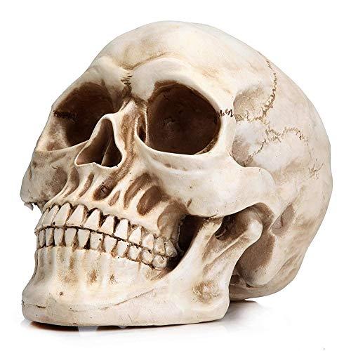 Anatomischer Kopf Knochen Schädel Knochenmodell Lebensgröße Medizinische Ausbildung Oder Halloween Dekoration ()