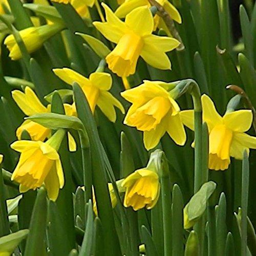 Humphreys Garden Narcissus Narzisse Tete a Tete x 10 Bulbs Blumenzwiebeln