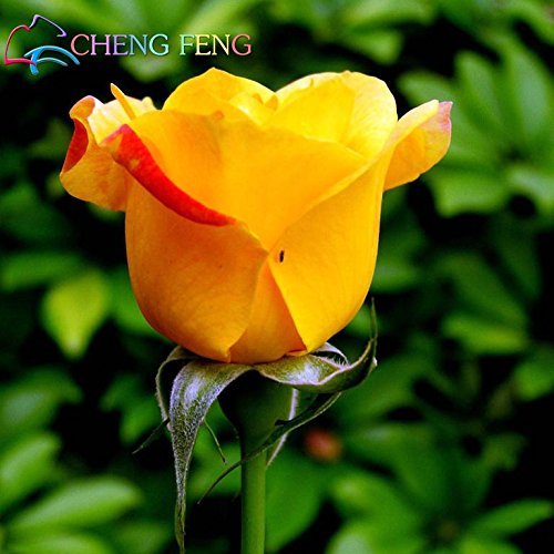 Promozioni 100 pc / sacchetto (colore misto) rose semi piante rampicanti semi polyantha rosa fiore cinese climbing semi rose da giardino