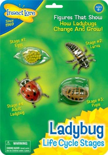 insect-lore-48127-le-cycle-de-la-vie-coccinelle