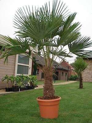 trachycarpus-fortunei-chusan-palm-chinese-windmill-palm