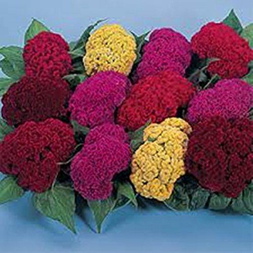 Blumen Hahnenkamm Mix (Celosia argentea cristata) Annual