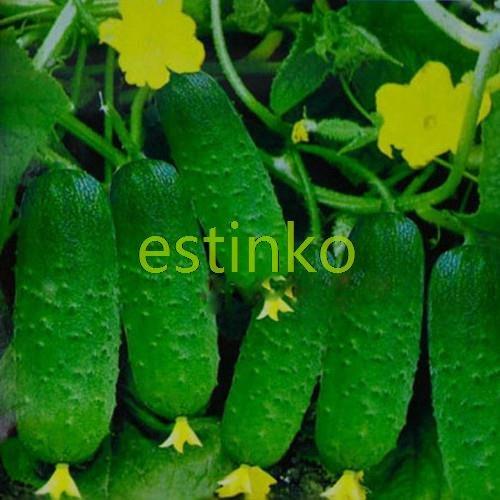Japonais concombre Graines 25pcs / sac Short Mini concombre Graines Légumes Plantes jardin bricolage Cuke Bonsai Graines Livraison gratuite