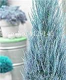 IDEA HIGH Samen-Garten Topfpflanze 30 Stück seltene blaue Zypresse Bonsai-Baum, Bonsai für Blumentopf Pflanzgefäße: 11