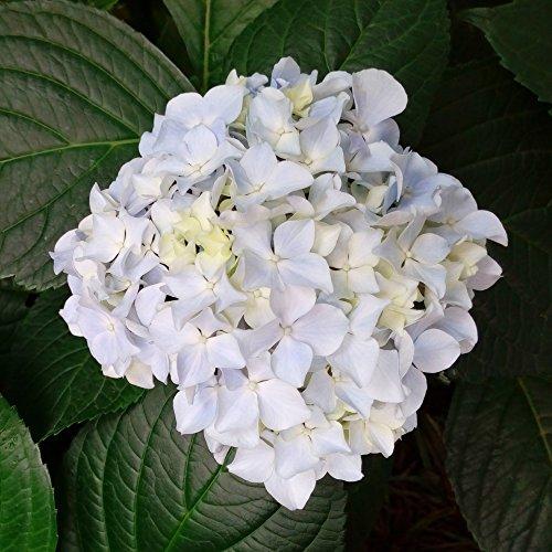 """Garten-Hortensie, rosa, Hydrangea macrophylla""""Madame E. Mouillère"""", 1 Hochstamm,1 Pflanze, 70-90 cm hoch"""