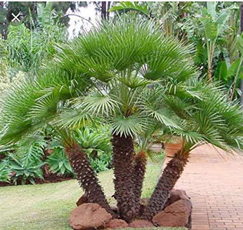 Portal Cool Samen Paket: 5 Mittelmeer Fan Palm Seeds (Chamaerops). Samen geerntete 22Oct 2018