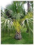 TROPICA - Palma di Guadalupa (Brahea edulis) - 4 Semi- Palma