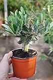 Palmenmann Olivenbaum (Kleiner Olivenbaum) - Olea europea