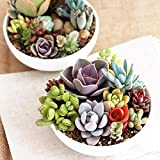 #9: Floral Treasure Mixed Cactus Succulent, Livingstone Lithops Plant Seeds - Pack Of 50 Seeds