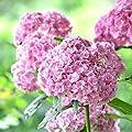 Imposes Hortensien Samen Blumensamen Sommer Blühen Hortensiensamen Mehrjährig Winterhart Samen Blumen Mischung Geschenk für Kinder 20 Stücke von Imposes - Du und dein Garten