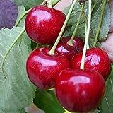 Süßkirsche Regina Kirschbaum aromatische Kirsche Obstbaum Halbstamm 150-170 cm