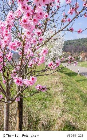 Mandelbaum prunus dulcis winterhart 5 Samen Bonsai geeignet