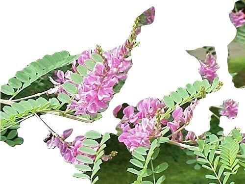 Indigofera tinctoria, Indigostrauch, 30 Samen
