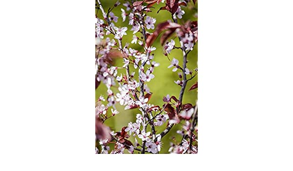 Blutpflaume Prunus cerasifera /'Nigra/'   60-100 cm im Topf gewachsen