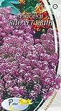 AGROBITS Siehe die Alissum Reinen violte - Viol Königin - maritima