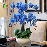 Rare Semi Orchid Bonsai Blue Butterfly orchidea bella Phalaenopsis 100 PCS
