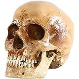 S24.5074 Cráneo humano, calavera, 2 piezas, de tamaño natural