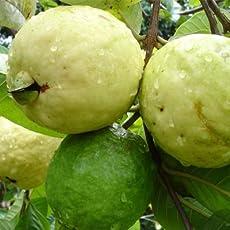 Live Guava/Amrud Sardar L49 Fruit Plant - Healthy Live Plant