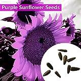 Portal Cool 02E6 Lila Riesen-Sonnenblume -Helianthus Annuus-100 Blumensamen-Large-Pack D564