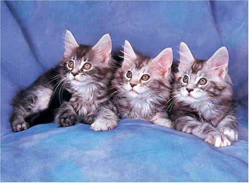 500 Piece Maine Coon Cats Jigsaw Puzzle