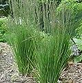 lichtnelke - Hohes Pfeifengras ( Molina caerulea ' Moorhexe ' ) Tb9 von Lichtnelke Pflanzenversand - Du und dein Garten