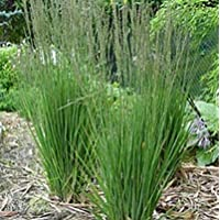 Suchergebnis Auf Amazonde Für Hohes Gras Blumen Pflanzen Garten