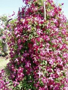 Clematis viticella Madame Julia Correvon - Blühende Kletterpflanze von Baumschule - Du und dein Garten