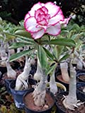 #3: Grafted Adenium Bonsai Live Plant with Beautiful Double Layer Flower by Thanjai Natural