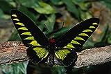 720090 Birdwing Butterfly Trogonoptera Brookiana Malaysia