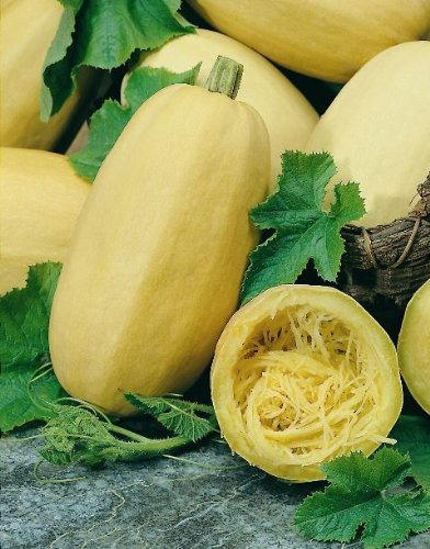 Vegetable - Kings Seeds - Picture Packet - Squash - Vegetable Spaghetti - 8 Seeds
