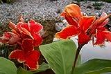 Tropica - Wasserpflanzen - Indisches Blumenrohr - 20 Samen