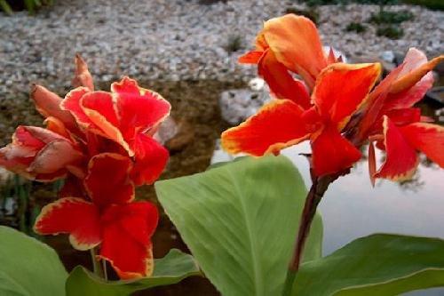 Tropica - Wasserpflanzen - Indisches Blumenrohr (Canna indica) - 20 Samen