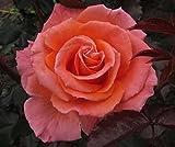 MY NAN - 4lt Potted Hybrid Tea Garden Rose Bush - Apricot/Orange Repeat Flowering Blooms