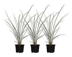 "Pflanzenservice Pflanzen, Strandgrün Strandhafer ""Dünenanker"", 3 Stück, Grün, 40x30x20 Cm, 619143"