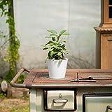 Salbei Berggarten (Salvia officinalis 'Berggarten') | Kommt im 14 cm Topf, Keine Jungpflanze | Immergrüner Salbei mit besonders großen Blättern | Ideal um Saltimbocca zuzubereiten