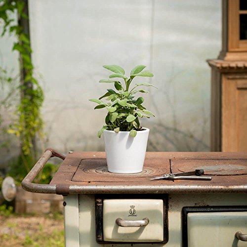 Salbei Berggarten (Salvia officinalis 'Berggarten')   Kommt im 14 cm Topf, Keine Jungpflanze   Immergrüner Salbei mit besonders großen Blättern   Ideal um Saltimbocca zuzubereiten - Salvia Officinalis-salbei