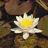 Blumixx Stauden Nymphaea Hybride 'Paul Hariot' - Seerose 1,0 Liter Topf gelb bis kupferrot blühend