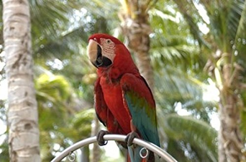 lisa-s-engelbrecht-danitadelimont-parrot-at-radisson-resort-palm-beach-aruba-caribbean-photo-print-9