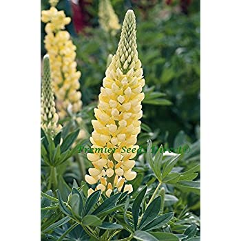 Lupin russell chandelier 70 finest seeds amazon garden lupin russell chandelier 70 finest seeds aloadofball Gallery
