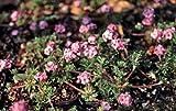 Androsace sempervivoides - Mannsschild - Staudenkulturen Wauschkuhn - Staude im 9x9cm Topf