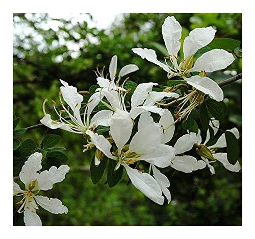 Bauhinia bowkeri – Orchideenbaum – 3 Samen